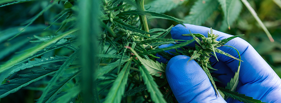 Quick and Real-Time Determination of Potency in Cannabis Extracts using FTIR Spectroscopy
